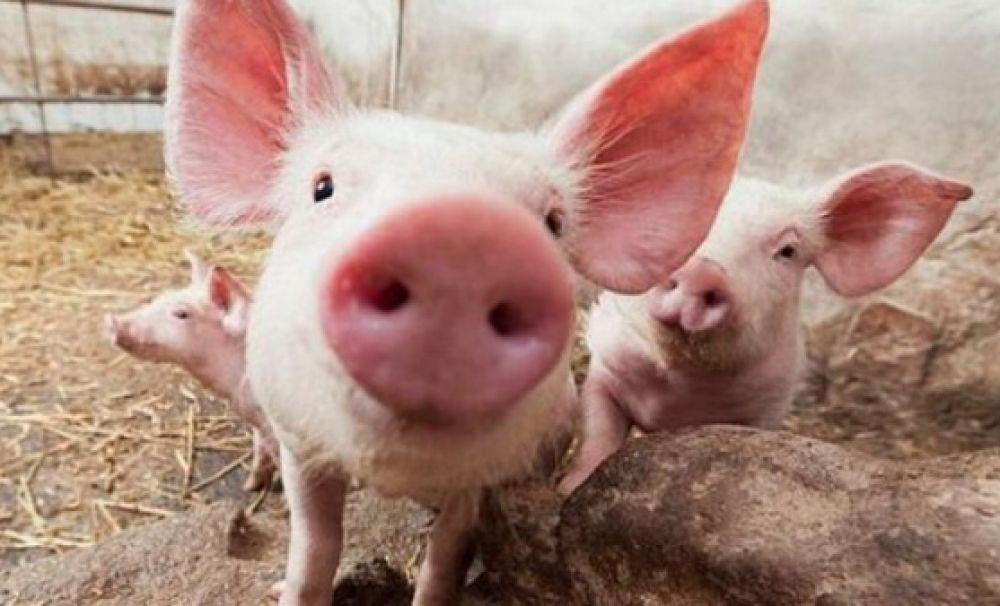 11 focare de pestă porcină în Olt