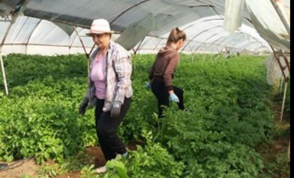 A început recoltatul cartofilor timpurii, în Călăraşi - Dolj!  Producătorii obţin 7 lei pentru un kilogram de cartofi