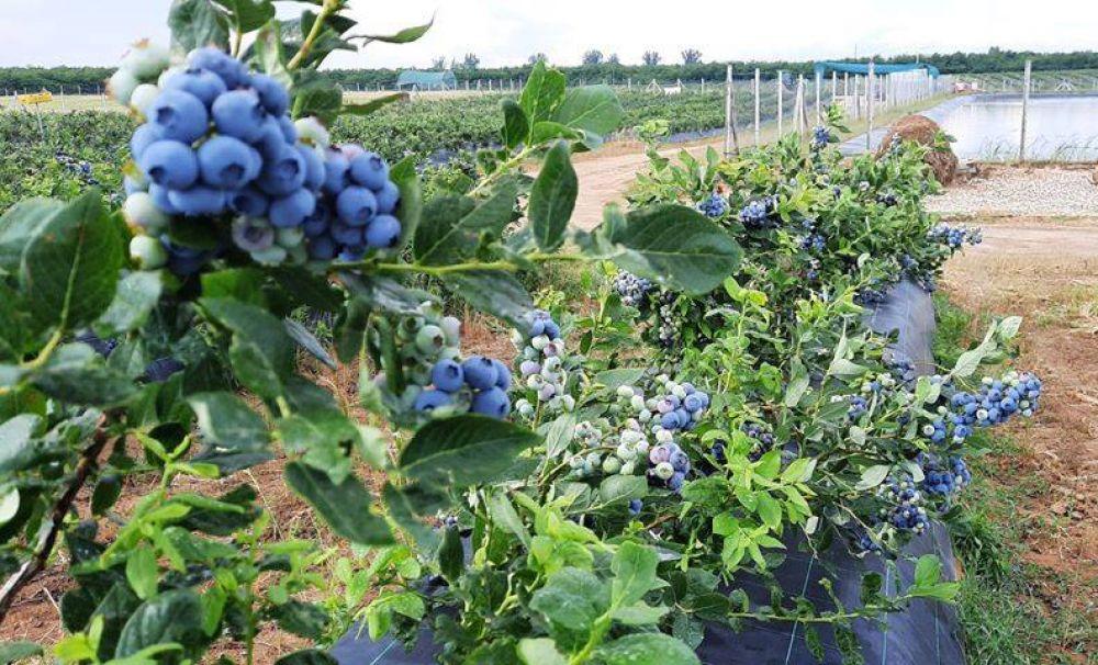 Cultura de afine, distrusă de grindină!  Producţia în acest an este la jumătate!