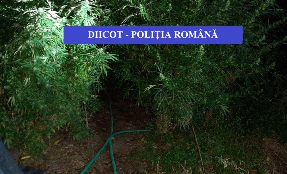 Cultură de cannabis, plantată în comuna Eşelniţa