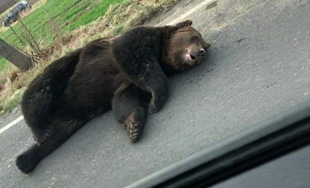 Dar cu ursul ce ați avut? Bietului animal i-ați luat pădurea și a sfârșit în chinuri, pe șosea!