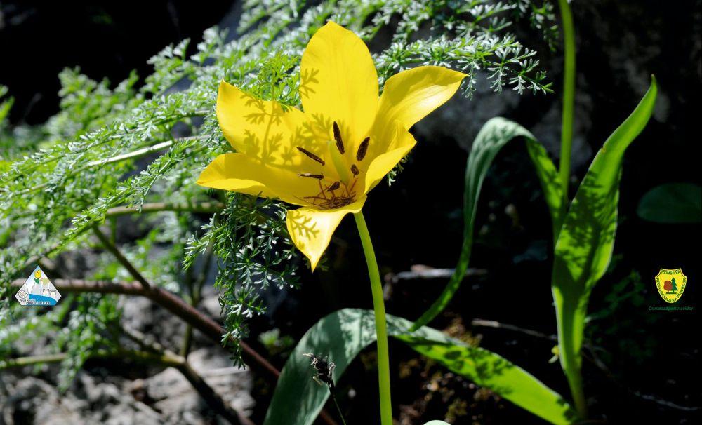 În Cazanele Dunării a înflorit laleaua galbenă, unică în lume