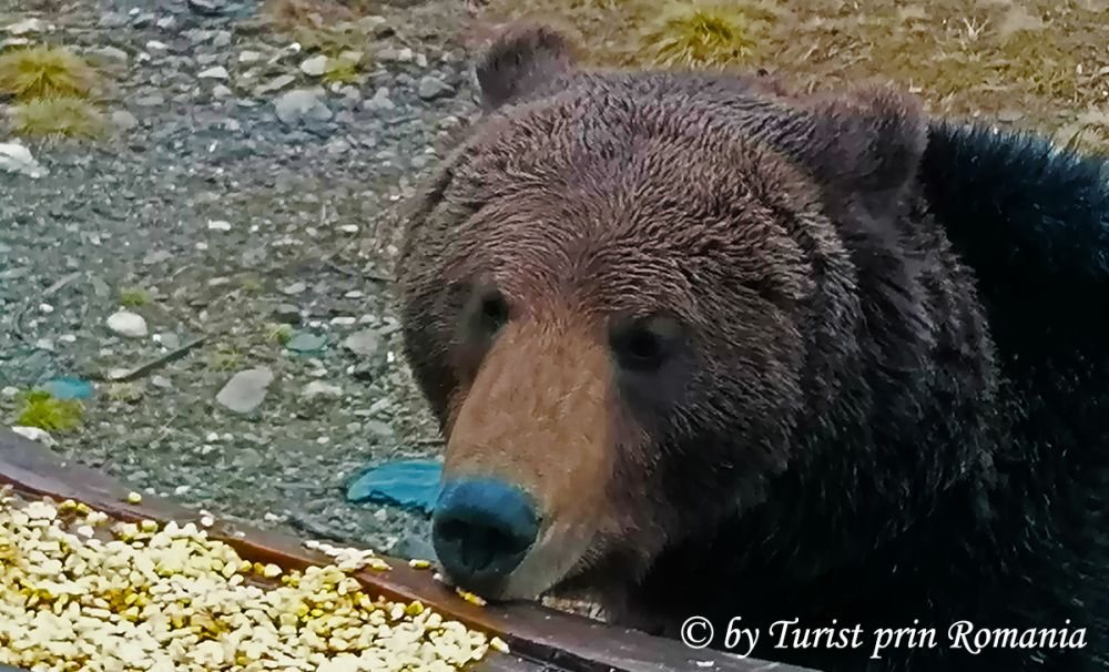 În mijlocul sălbăticiei – Observatorul de urși de la Borzont