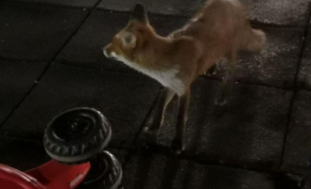 Incredibil! O vulpe, în Parcul Tineretului din Craiova