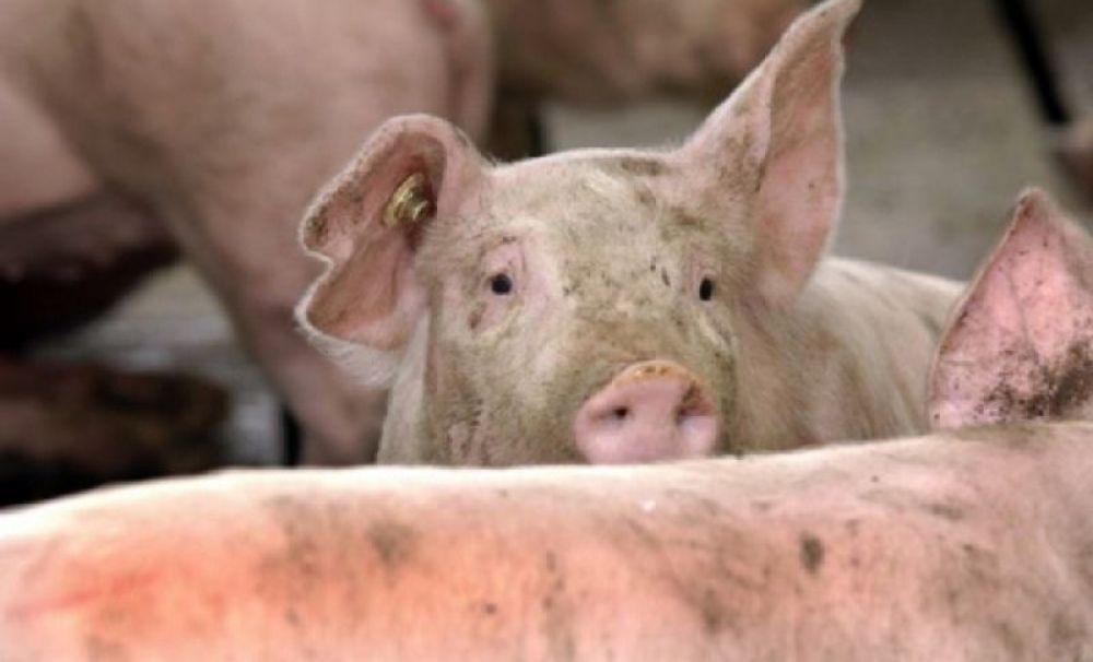 O fermă de porci din Ipoteşti, afectată de pesta porcină!  3.700 de porci vor fi ucişi