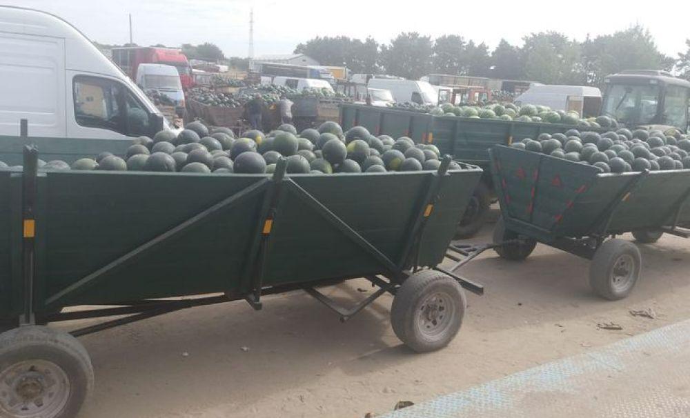 Piaţa en gross de pepeni din Dăbuleni nu are cumpărători!  Producătorii au lăsat pepenii şi cu 40 de bani kilogramul