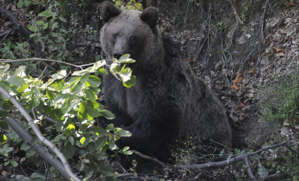 S-a întâmplat în Vâlcea! Trei urşi au fost salvaţi din laţuri