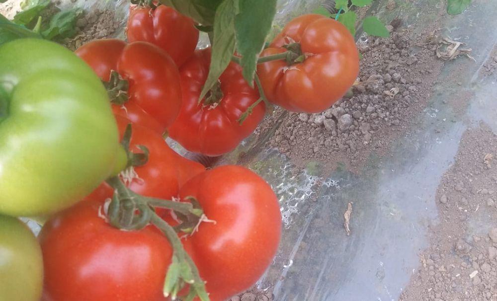 S-au copt primele roşii în solariile din Olt! Preţul este foarte bun pentru această perioadă, 15 lei pentru un kilogram de tomate